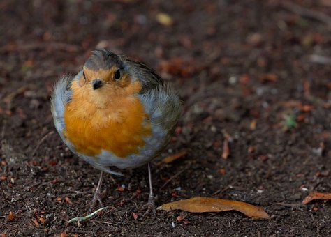 Robin Redbreast On The Ground, Robin, Robin Redbreast
