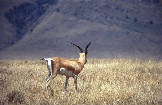Antelope, Horns, Animal, Safari, Wilderness, Wildlife