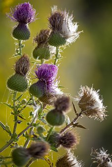 Flowers, Spear Thistle, Thistle, Bull Thistle