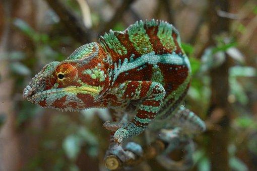 Chameleon, Zoo, Terrarium, Animal, Reptile, Exotic