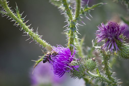 Purple Flowers, Thistle, Thorn, Cirsium, Vulgare