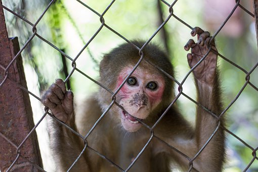Animal, Asia, Cage, Caged, Mammal, Monkey, Vietnam