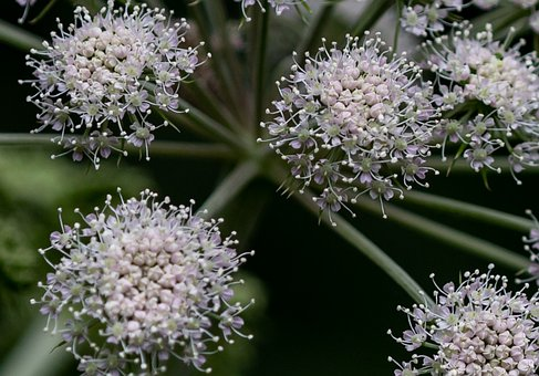 Flowers, Wild Celery, Angelica, Angelica Officinalis