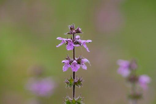Marsh Woundwort, Stachys Palustris, Wild Flower
