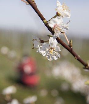 Trees, Brach, Flowers, Petals, Heyday, Almond Blossom