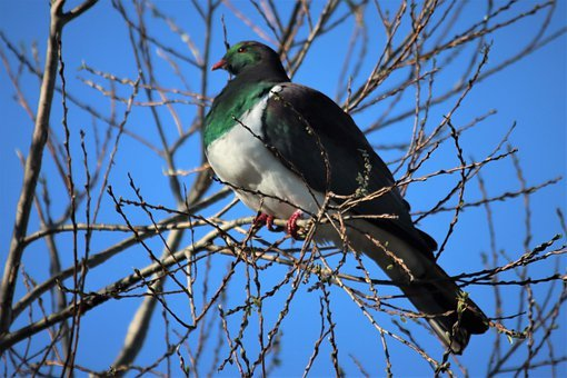 Bird, Kereru, Wood Pigeon, Beak, Feathers, Plumage
