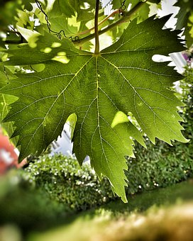 Wine, Plant, Nature, Vine, Fruit, Food, Healthy