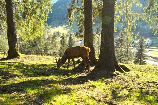 Hirsch, Roe Deer, Antler, Nature, Forest, Trees, Trunks