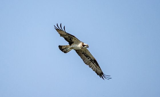 Bird, Osprey, Wings, Feathers, Sky, Nature, Animal