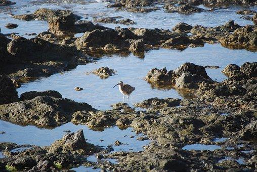 Bird, Sicklebird, Rocks, Rocky Coast, Coast, Beach, Sea