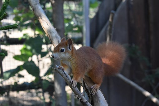 Squirrel, Rodent, Zoo, Park, Animal, Nature, Fur, Tail