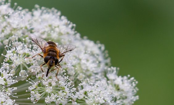 Bee, Wild Flower, Insect, Bug, Wings, Wild Celery