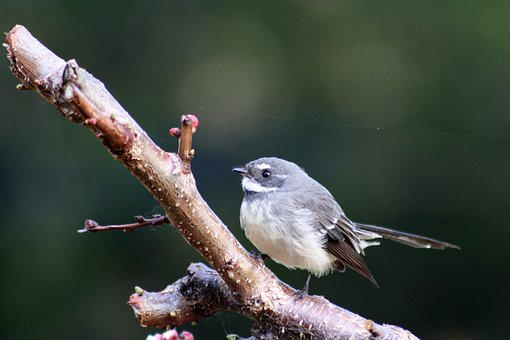 Bird, Grey Fantail, Feathers, Wings, Plumage, Wildlife