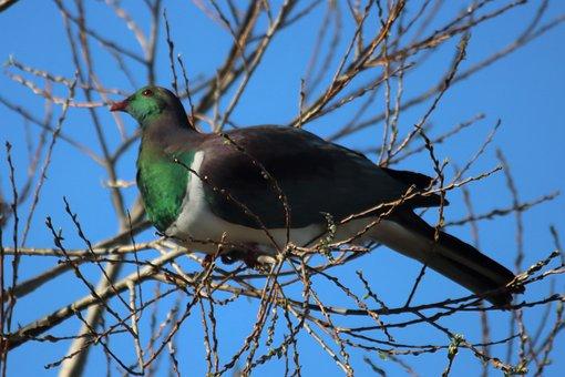 Kereru, Wood Pigeon, Beak, Feathers, Plumage, Avian