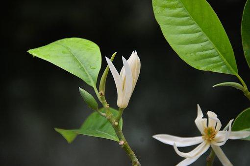 Flower, White, Blooming, Fragrant, Pretty