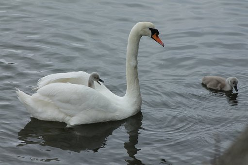 Swan, Signet Ride, Getting A Lift, Mother Swan