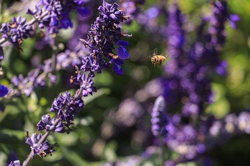 Bee, Lavender, Flowers, Lavender Field, Flora, Plant