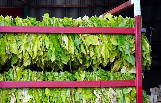 Tobacco, Tobacco Harvest, Tobacco Leaves, Palatinate
