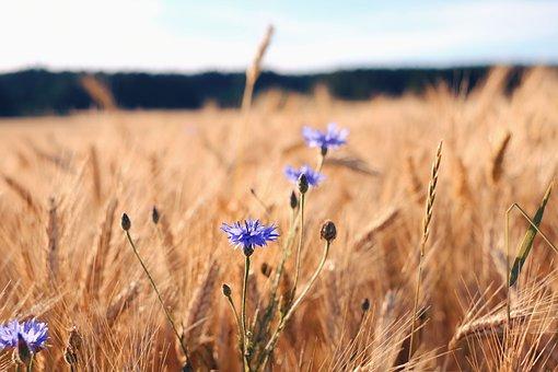 Nature, Field, Summer, Cereals, Cornfield, Cornflowers