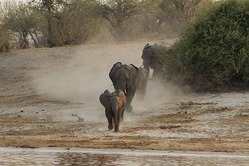 Elephants, Calves, Animals, Baby Elephant, Mammal
