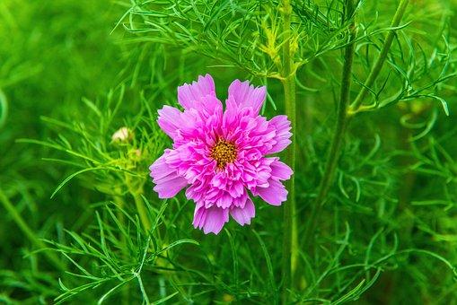 Carnation, Pink Flower, Flower, Leaves, Plants, Bloom
