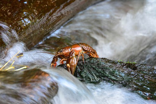 Crayfish, Crustacean, Stream, Crawfish, Craydids