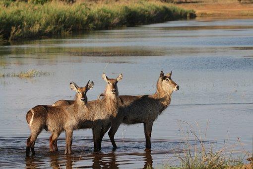 Water Buck, Buck, Wildlife, Water, Dam, Animal, Nature