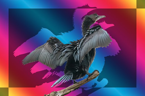 Bird, Shag, Minor Shag, Volatile, Nature, Swim, Lake