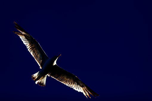 Bird, Seagull, Silhouette, Wings, Sky, Outdoors, Nature