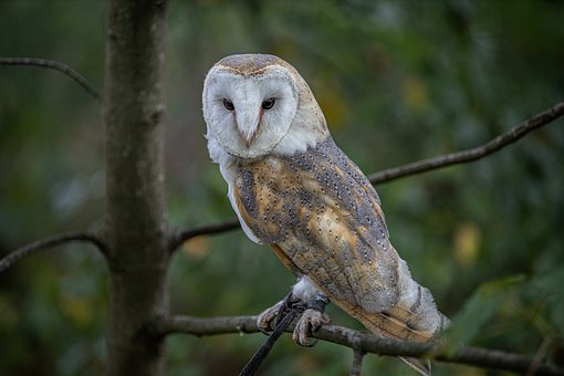 Owl, Bird, Perched, Owl Perched On A Branch, Tree