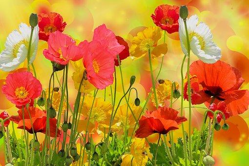 Flowers, Poppy, Petals, Leaves, Foliage, Buds, Garden