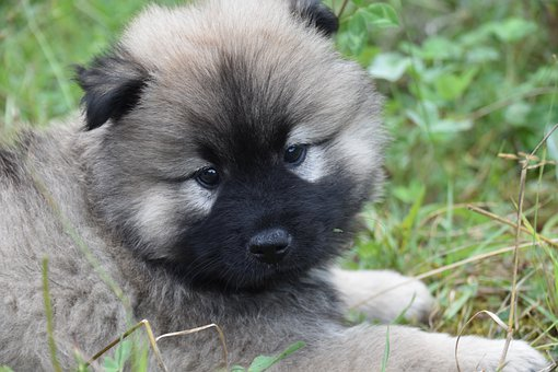 Puppy, Dog, Eurasier, Eurasian Dog, Animal, Pet, Canine