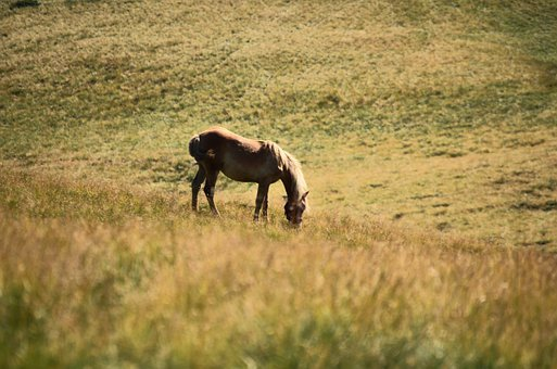 Horse, Equine, Questrian, Mane, Animal, Field, Meadow