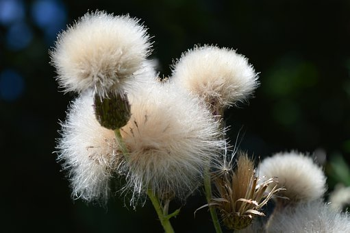 Thistle, Milk Thistle, Dry, Flying Seeds, Seeds