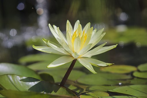Water Lily, Lily Pad, Water, Flower, Plant, Flora, Zen