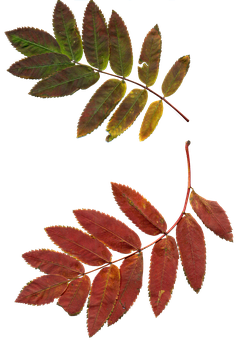 Leaves, Autumn Leaves, Rowan, Clipart, Nature, Plant