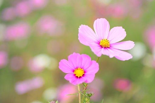 Natural, Plant, Flowers, Cosmos, Autumn Flowers, Autumn