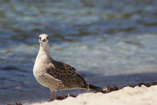 Seagull, Beach, Seaweed, Sea, First Floor, Sand, Animal