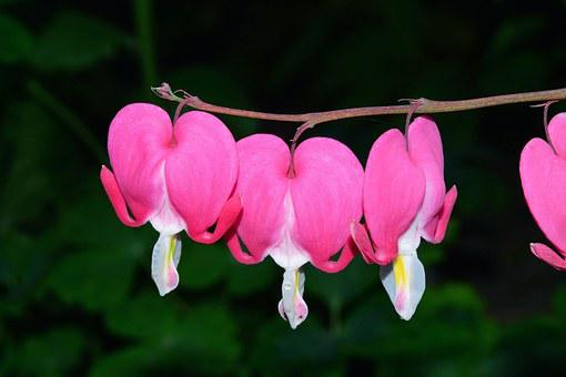 Bleeding Heart, Two Tone Heart Flower, Blossom, Bloom