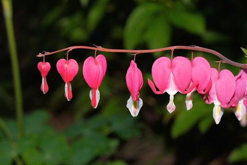 Bleeding Heart, Two Tone Heart Flower, Blossom, Bloom