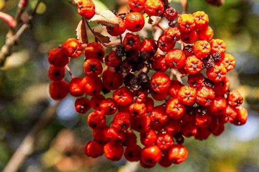 Rowan, Red, Fruit, Berries, Bush, Autumn, Close