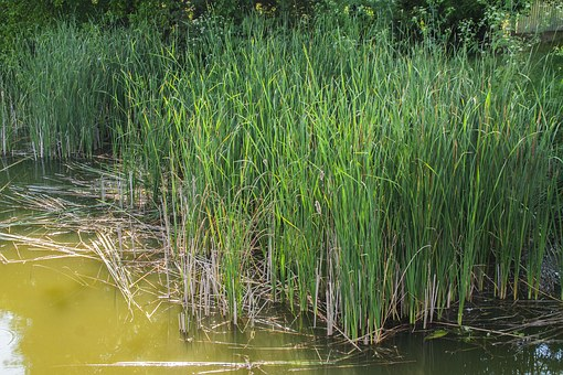 Cernica Lake, Rush, Reed, Cane, Pond, Water Plant