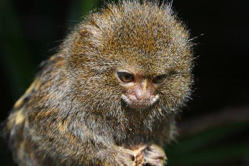 Monkey, Pygmy Marmoset, Dwarf Monkey, Cebuella Pygmaea