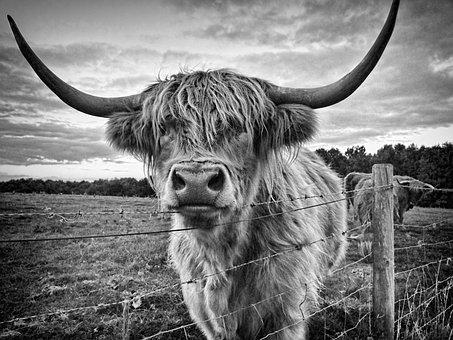 Highland Cow, Cow, Animal, Highland, Cattle, Farm