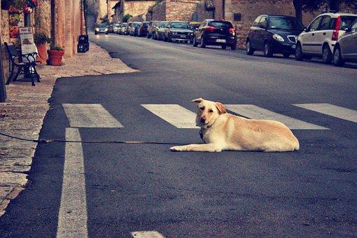 Dog, Street, Assisi, Retriever, Canine, Animal, Lying