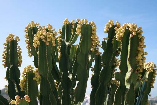 Cactus, Flowers, Flora, Yellow, Green Desert, Bloom