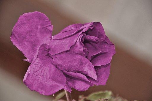 Roses, Flower, Nature, Macro, Purple, Rose, Green, Leaf