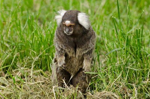 Nature, Fluffy, Zoo, Wildlife, Fur, Ape, Animal, Mammal