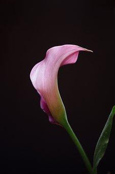Calla Lilly, Flower, Pink, Calla, Lilly, Fresh, Shadow