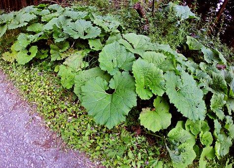 Plant, Sweetheart, Leaves, Heart, Green